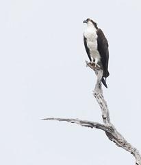 2018 Birds of the Mississippi River Delta (23) (maskirovka77) Tags: saintbernard louisiana unitedstates us river delta bird osprey fisheagle baldeagle shrike pelican egret