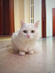 Howl. (silviamaggi) Tags: gatto gatti howl grottaglie puglia italia italy certosino bianco felino