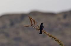 Surveying Life (harefoot1066) Tags: fouquieriasplendens ocotillo fouquieria fouquieriaceae phainopepla phainopeplanitens bombycillidae
