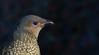 satin bowerbird (Ptilonorhynchus violaceus)-5409 (rawshorty) Tags: rawshorty birds canberra australia act symonston