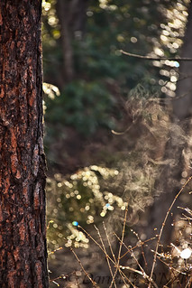 Steam from a Pine Trunk 2