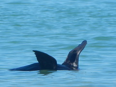 Black Flippers (mikecogh) Tags: grange seal flippers cooling sea nature fascinating floating