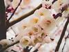 梅 (anna.letoile) Tags: osaka plum castle japan nihon trip spring flower 日本 大阪 大阪城 梅 春 olympus olympusmzuiko1442 olympusomdem10markii bokeh bokehlicious blossoms tree pastel tender flickraward