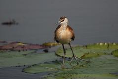 Lily dancer! (Jambo53 (catching up)) Tags: lilytrotter africanjacana chobe kasane river watervogel wader botswana southernafrica zuidelijkafrika nikond80