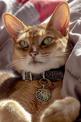 In his favorite spot (Laurie4593) Tags: cat abyssinian cairo feline cute sun cuddle canonrebelt3i