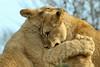 Parc zoologique de Paris 06.02.2016 0J5A4728 (MUMU.09) Tags: 100400mm canoneos7dmarkii felidae france mumu09 panthera pantheraleopolpi pantherinae parczoologiquedeparis06022016 vincennes animal félin lion lionçeau