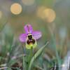 Ophrys tenthredinifera (Javier Colmenero) Tags: alava euskadi nikon nikond7200 paisvasco parquenaturaldegaraio sigma105mm bokeh flor flower fotografiamacro naturaleza nature primavera spring llanadaalavesa paísvasco españa es