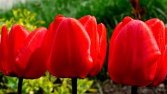 Czerwone tulipany. (andrzejskałuba) Tags: polska poland pieszyce dolnyśląsk silesia sudety europe panasoniclumixfz200 roślina plant kwiat kwiaty flower tulip tulipan czerwony red zieleń green garden ogród natura nature flora macro petal wiosna spring 100v10f