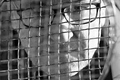 6Q3A6780 (www.ilkkajukarainen.fi) Tags: suomi finland eu europa scandinavia espoo visit travel happy life traveling birds lintu kevät suomenoja saostusallas kosteikko suomi100 portrait blackandwhite mustavalkoinen potretti monochrome me putki i minä