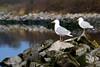 Meeuwen / gulls (Fabrice H. - Photography) Tags: meeuwen meeuw gull gulls bird birds vogel vogels nature natuur rocks rots dam golfbreker ouddor ouddorp centerparcs portzelande reflection water northsea