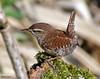 Troglodyte mignon (jean-lucfoucret) Tags: bird aves souche chant nikkor 200500 nikon d500 marron passériformes troglodytidés eurasian wren troglodytes troglodyte mignon arbre
