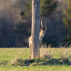 """Ready or not, here I come!"" (Harles Azza Photography) Tags: roedeer roebuck deer hideandseek"
