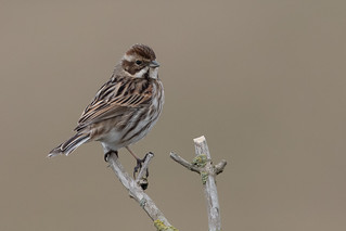 Reed Bunting-136