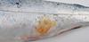 Flavobacterosis_coho_salmon_gross_XII (Patologiaenacuicultura) Tags: fishdiseases fishdisease fishpathology rainbowtroutpathology coldwaterdiseases rainbowtroutfrysyndrome peduncledisease cwd rtfs skinpathology erosion ulcer haemorrhage