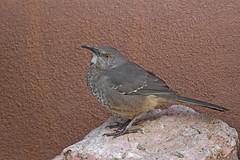 Curve-billed Thrasher (Alan Gutsell) Tags: curvebilledthrasher curvebilled thrasher curve billed brown newmexico mexico newzealandbirds usa santa fe alan wildlife nature