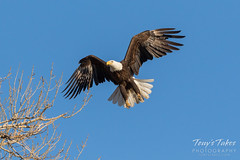 Female Bald Eagle returns to the nest - 9 of 29