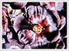 Flowers of Vincetoxicum nigrum are purple-black, giving the plant its name (jayjayc) Tags: flickr18 jaycjayc malaysia kualalumpur vincetoxicumnigrum vines purle black