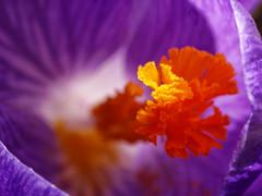 Er ist's... (BeMo52) Tags: krokus crocus pflanze plant flora garten spring frühling blumen flowers schwertliliengewächse perennials sticky