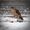 Nature surviving (Jersey JJ) Tags: everythinghastoeat hawk seagull caught killed dead nature survival surviving snowy scene coopershawk coopers