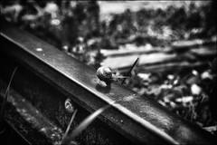 Cache-cache périlleux... / Dangerous hide and seek (vedebe) Tags: noiretblanc netb bw monochrome escargot animaux rails trains