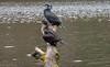Comorants (Rourkeor) Tags: scotland unitedkingdom gb culzean ayrshire pond log water birds olympus omd em1mk2 12100mmpro mft