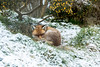 Red fox in the snow (Vulpes vulpes) (Steven Whitehead) Tags: redfox fox red snow canon canon5dmk4 nature bwc feeding 2018 fur grass cold white 100400mm sleeping
