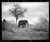 Devastation (will.goodlet) Tags: mamiya rz67 pro ii medium format film ilford delta100 180mm kruger elephant epsonv750