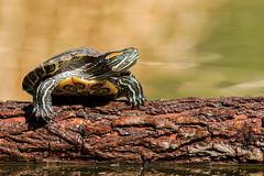 Green Pond Slider (gilamonster8) Tags: green pond slider log water wood lake canon eos 7dmarkii 400mm56l 14x arizona lakesidepark bokeh beyondbokeh turtle ngc flickrelite explore explored ef400mm56l