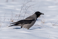 Crow in snow (Jevgenijs Slihto) Tags: nature wildlife bird birding crow hoodedcrow hoodie scotchcrow danishcrow greycrow corneillemantelée winter cold snow day birdinsnow white