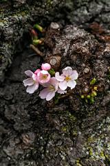 National Cherry Blossom 2018 (KrsnaPixels) Tags: cherry washington dc tidal basin monument japanese garden sakura blossoms fragility beauty national outdoor blossom festival spring beautiful people