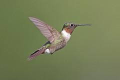Ruby-throated Hummingbird (Alan Gutsell) Tags: bird birds photo photography alan wildlife nature migration texasbirds texas gulfcoast rubythroated hummingbird rubythroatedhummingbird fast