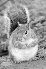 """""""Who me? I never touched the nuts"""" (seanwalsh4) Tags: greysquirrel animal young fun laugh blackwhite mono joke fauna photography canon eastvillepark nutty nuts humour furry funnibblermonkey monkeynuts seanwalsh bristol thursdaysblackwhiteorsepia 7dwf sciuruscarolinensis invasivespecies american fat overweight round portly cubby bigboned wellfed contented expandedbelly natural wild fit quick beautiful whoateallthenuts honestsquirrel sweet delightful dray muncher hazelnuts love woodlandcritter"""