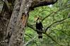 Great Indian Hornbill (Saumil U. Shah) Tags: therealsaumil saumil shah saumilshah nature wildlife landscape kaziranga national park nationalpark assam northeast india asia forest