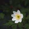 Buschwindröschen (jkiter) Tags: ruhrgebiet blume deutschland natur pflanze buschwindröschen waltrop flower germany nature plant thimbleweed windflower woodanemone