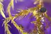 Sminthurinus aureus forma ochropus (marie1179) Tags: collembola hoppstjärt springtail springstaart springschwänze symphypleona katiannidae sminthurinusaureus colémbola macro