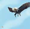 Coming On Down...Quickly (Vidterry) Tags: eagle baldeagle cedarlake eaglerapiddescent nikond7100 nikkor80400 16400thf11