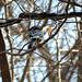 Blue Jay & Rat Snake