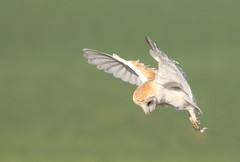 Barn owl (bilska.anna) Tags: barnowl owl birdofprey ukwildlife britishwildlife ukwildlifuk wildlife wildlifeuk naturephotography natureuk nature photography canon canon7d madaboutowls