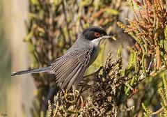 Curruca cabecinegra (Antonio Lorenzo Terrés) Tags: ave pájaro bird nature naturaleza fauna curruca cabecinegra