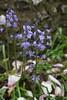 Bluebells, Jubilee Gardens, Chichester (2) (f1jherbert) Tags: sonya68 sonyalpha68 alpha68 sony alpha 68 a68 sonyilca68 sony68 sonyilca ilca68 ilca sonyslt68 sonyslt slt68 slt jubileegardenschichesterwestsussex jubileegardens westsussex jubilee gardens chichester west sussex