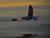 Sunrise Gulls (Arvo Poolar) Tags: outdoors ontario canada arvopoolar nature natural naturallight nikond7000 naturephotography water scarborough scarboroughbluffs seagull wings inflight