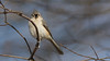 Posing Stare on the Branch (Ken Krach Photography) Tags: tuftedtitmouse