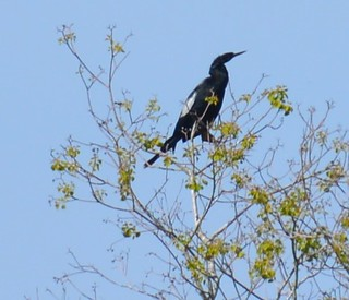 a lmn  cormorant DSC_0147