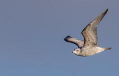 Herring Gull in flight (gh_trker) Tags: herring gull hamilton ontario bayfront park