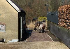 The giants and their boss (mennomenno.) Tags: paarden horses trekpaarden langsderotte dieren animals