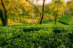 The Tea Carpet (abhishek.verma55) Tags: tea teagarden teaplants teaplantation aibheelteagarden landscape incredibleindia landscapelovers dooars duars outdoor outdoors greens greenery green travelphotography travel trees tree leaves ©abhishekverma canon550d evening eveninglight sunset sunsetlovers sunsets sunlover sunsetpics sun flickr photography india indiatravel indiaexplore beautiful beauty nature beautifulnature beautyinnature landscapes landscapelover landscapephotography rurallandscape colourful colour colors colorful scenery scenic scene view exploreindia natureisbeautiful naturephotography travelphotos vibrant picturesque wanderlust winter yellow golden garden sundown