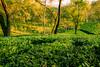 The Tea Carpet (abhishek.verma55) Tags: tea teagarden teaplants teaplantation aibheelteagarden landscape incredibleindia landscapelovers dooars duars outdoor outdoors greens greenery green travelphotography travel trees tree leaves ©abhishekverma canon550d evening eveninglight sunset sunsetlovers sunsets sunlover sunsetpics sun flickr photography india indiatravel indiaexplore beautiful beauty nature beautifulnature beautyinnature landscapes landscapelover landscapephotography rurallandscape colourful colour colors colorful scenery scenic scene view exploreindia natureisbeautiful naturephotography travelphotos vibrant picturesque wanderlust winter yellow golden garden sundown