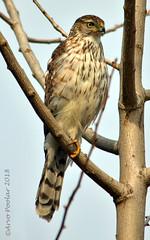 Coopers Hawk (Arvo Poolar) Tags: coopershawk bird birdofprey raptor scarborough outdoors ontario canada arvopoolar perched nature natural naturallight nikond7000 naturephotography trees feathers