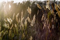 Good Morning (ToDoe) Tags: sonnenaufgang sonne strahlen sonnenstrahlen sunbeams contrejour gegenlicht backlight gräser sunrise sunlight