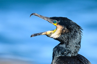 Dílaskarfur - Great Cormorant - Phalacrocorax carbo